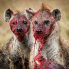 some-of-the-cutest-animals-around-the-hyena