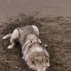 funny-moon-moon-dog-hiding-dirt