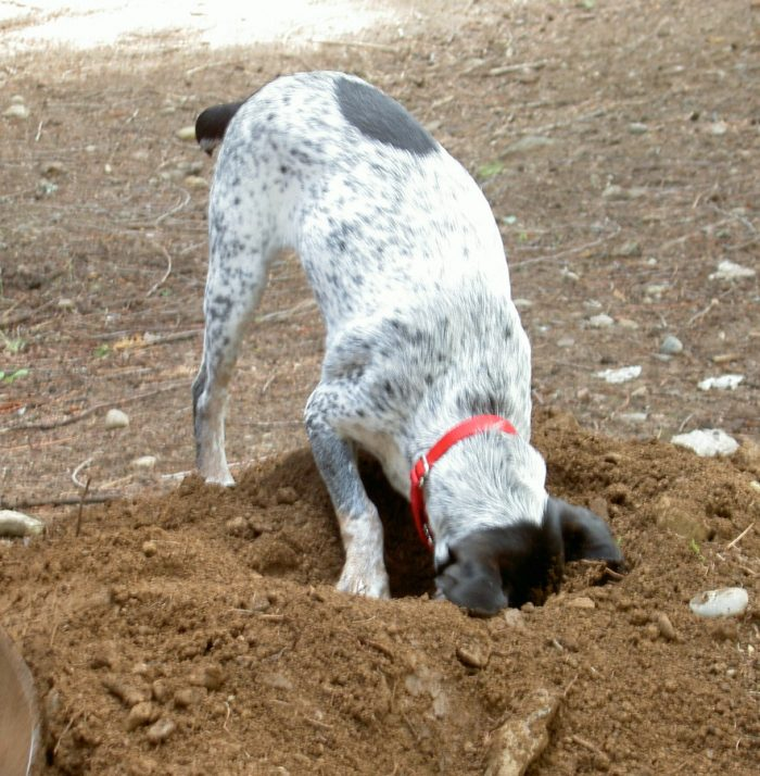 dog digging deterrent