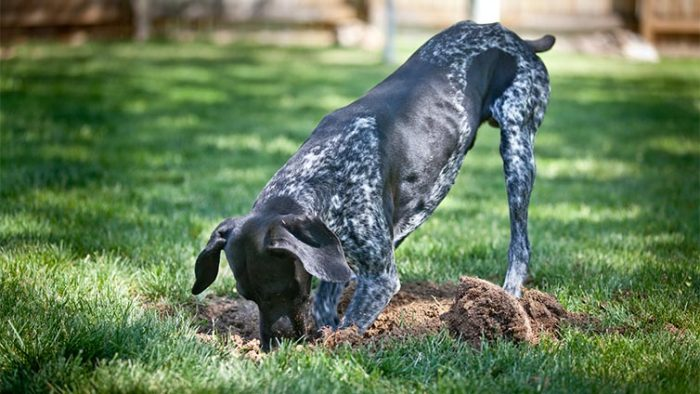 how to stop a dog from digging pepper